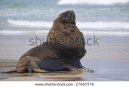 Male sealion posing at Cannibal beach New Zealand