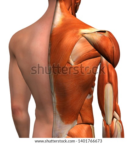 Male Shoulder Muscles with Cut-Away Skin Layer, 3D Rendering