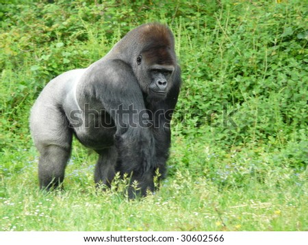 Male silver-back gorilla at the Vallee des Singes in France - stock photo