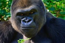 Male Silverback Western Lowland Gorilla Smiles as he eats his breakfast.
