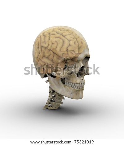 Male skull with brain showing through transparent skull.