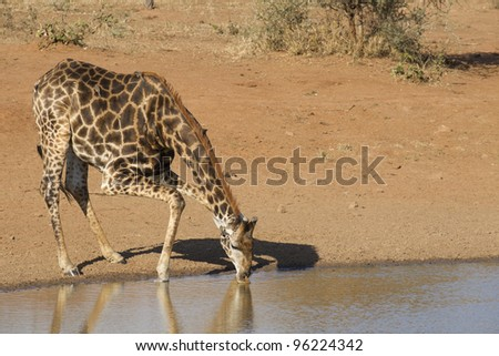Male Southern Giraffe (Giraffa camelopardalis) drinking from a natural pan in Kruger Park, South Africa