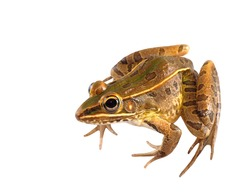 Male Southern Leopard Frog Isolated on White