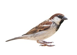 Male Sparrow (Passer italiae), isolated, with white background