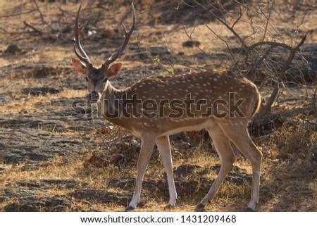 Male Spotted deer in sasan Gir, Gujarat, India