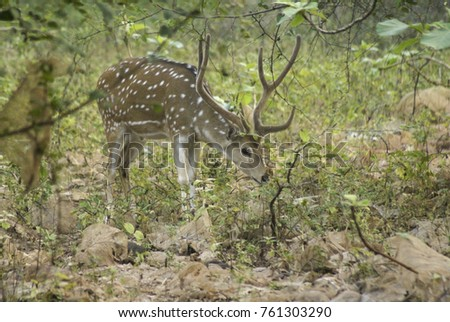 Male spotted or axis deer (chital) in velvet browsing in Sasan Gir (Gir Forest), Gujarat, India
