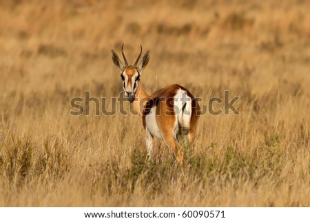 Male Springbuck looking back on the African Grass Plains