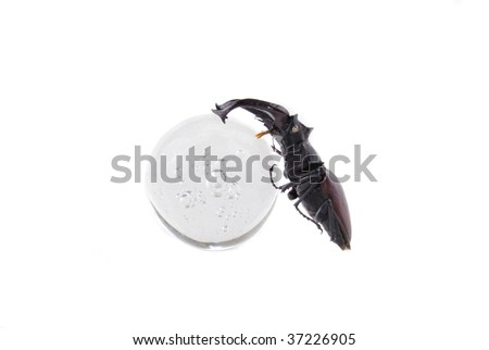 male stag-beetle isolated on white - front view