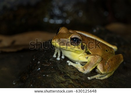 Shutterstock Male stoney creek frog (Litoria wilcoxii) on rock at the edge of a creek. This Australian species demonstrates sexual dimorphism with males being brightly coloured. Numinbah, NSW. Australia.