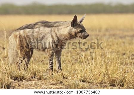 Male Striped Hyena  #1007736409