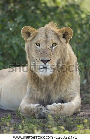 Male sub adult African Lion, (panthera leo), Ndut, Serengeti, Tanzania