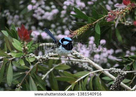 Male Superb Fairy-wren (Malurus cyaneus)