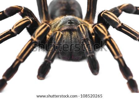 Male Thai Zebra Tarantula (Haplopelma albostriatum). This tarantula found throughout Thailand lives in burrows, is fast and quick to bite.