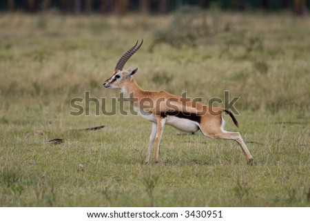 Male Thomson's gazelle urinating