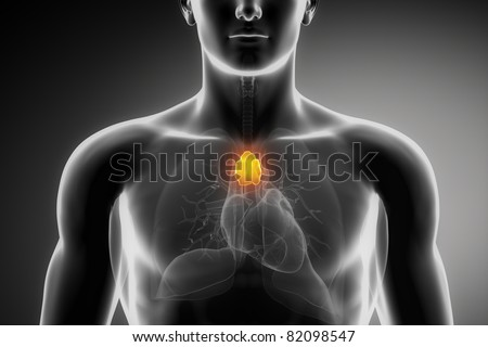 Male thymus anatomy