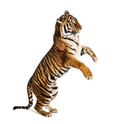 Male tiger on hind legs, big cat, isolated on white