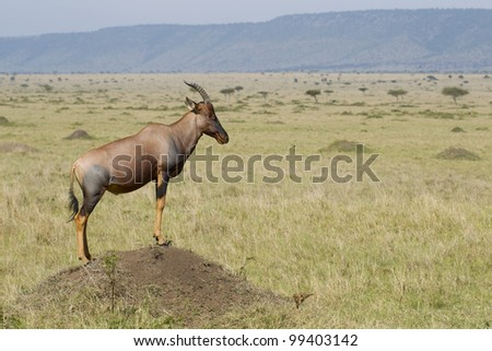 Male Topi Antelope (Damaliscus lunatus) advertising his territory in Kenya's Masai Mara