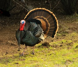 Male Turkey (gobbler) flaring its tail feathers in a typical display called strutting with wing tips pointed downward