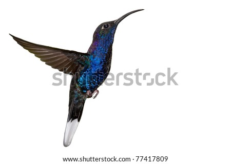 Male violet sabrewing (Campylopterus hemileucurus) in flight, Isolated on white background