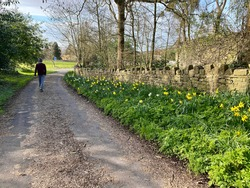 Male walker on a sunny countryside track, with trees, a stone built wall and daffodils to the side.