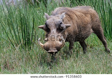 Male warthog in Kruger National Park, South Africa