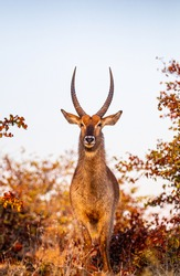 Male Waterbuck standing in the golden light of dawn