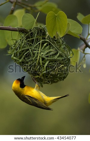 Male Weaver Bird