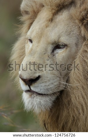 Male white lion face portrait at Pumba game reserve South Africa.
