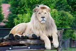 Male white lion lying down