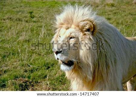 male white lion staring at some prey