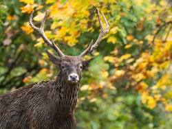 Male white-lipped deer portrait. Adult dirty Thorold's deer with beautiful antlers in the autumn forest with blurred green and yellow foliage in the background.