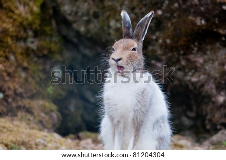 male white mountain hare (lat. Lepus timidus) in spring yelling