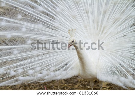 Male white peacocks are spread tail-feathers