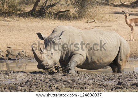 Male White Rhino, (Ceratotherium simum) in a mud wallow in South Africa's Kruger Park
