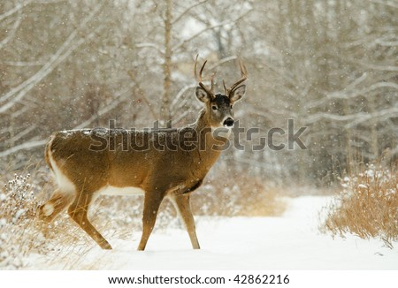 Male white tailed Deer in the forest in winter