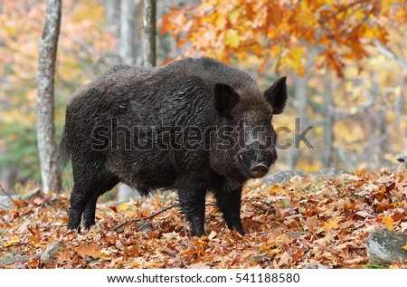 Male Wild-boar in autumn forest #541188580