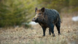 Male wild boar, sus scrofa, with white tusks sticking out of snout on spring meadow with dry grass at sunrise. Shy mammal sniffing with nose from front view with copy space.