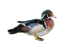 Male Wood Duck (Aix sponsa), isolated on white background