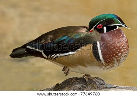 Male wood duck (Aix sponsa) resting on one leg