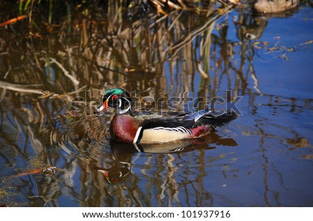 Male Wood Duck or Carolina Duck (Aix sponsa) is a species of duck found in North America. It is one of the most colorful of North American waterfowl.