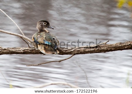 Male wood duck perched in a tree