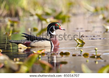 Male Wood Duck swimming in a swamp.