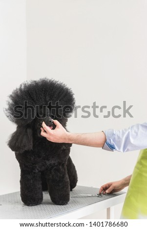 Male worker holding black poodle snout and finishing hairstyle in grooming salon