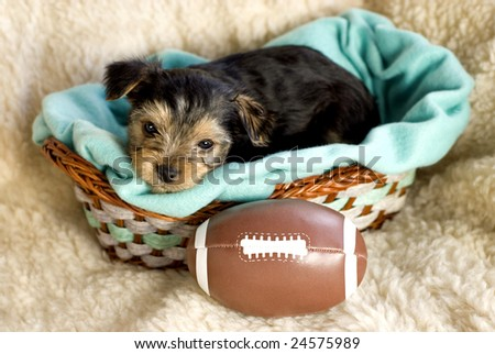 Male Yorkshire Terrier Puppy with toy football in basket with light green blanket