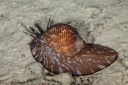 Malea Pomum sea snails