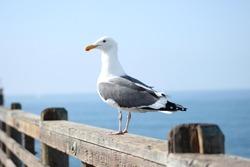 Malibu pier seagull
