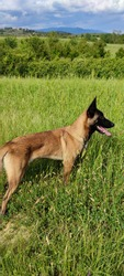 Malinois breed dog engaged in a walk in the Tuscan fields