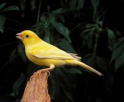 Malinois Canary or Song Canary Singing