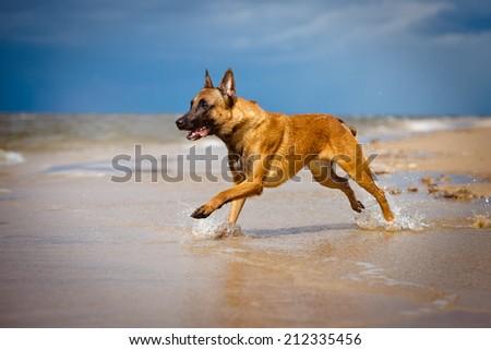 malinois dog running on the beach