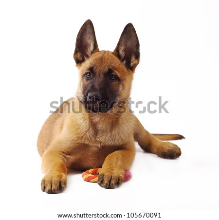 Malinois Puppy Dog 1 months old portrait Belgian sheepdog isolated in ...